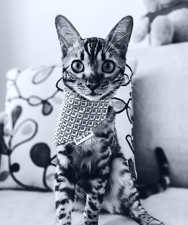 Figaro the Bengal